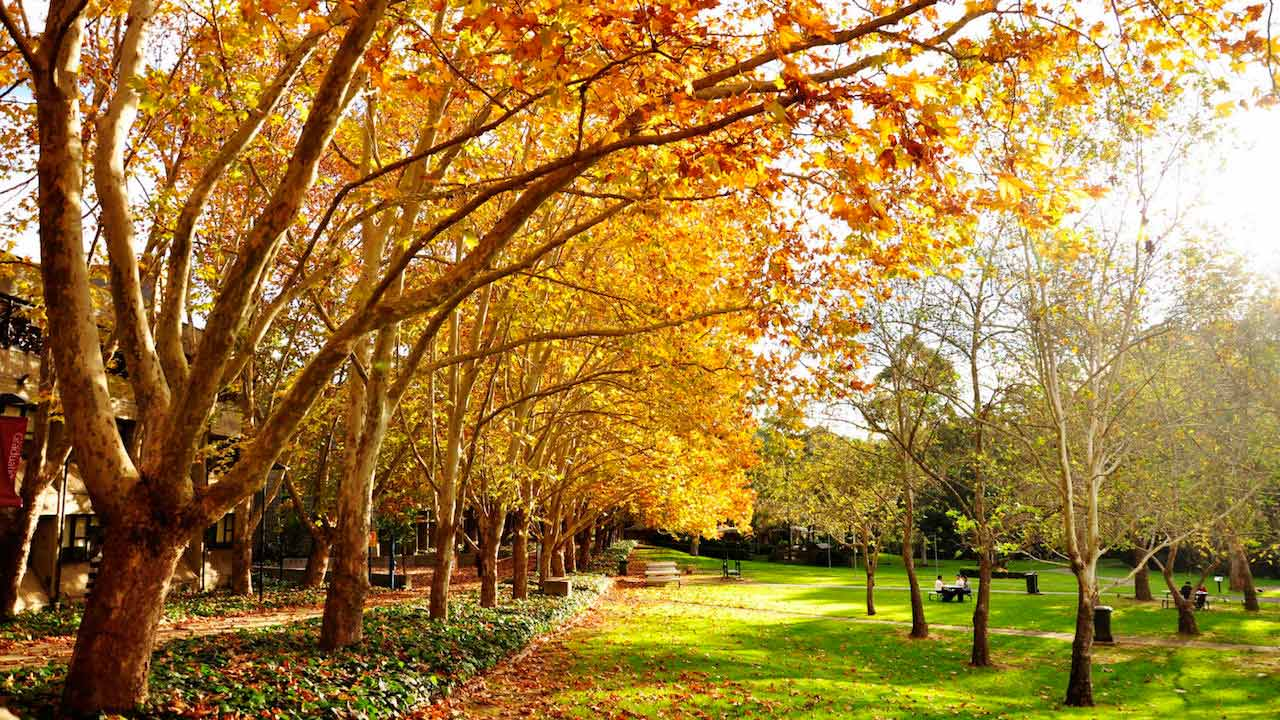 Orange and yellow leaves fall from the large trees on Macquarie University's campus near Sydney, Australia